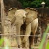 У Нью-Йорку слониха судиться з зоопарком через утримання в неволі