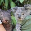 Дивіться відео про дружбу коали з вомбатом